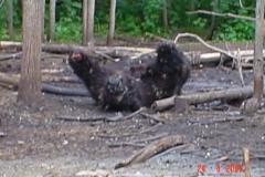 Браконьеры отрубили у медведя только лапы, как самый вкусный деликатес. Остальное брошено гнить