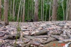 На заднем плане – мертвый медведь, который пришел на запах гниющей рыбы и был застрелен браконьерами. Река Хой, Смирныховский район