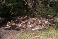 6.Кучи относительно свежей поротой горбуши на берегу реки Мерея