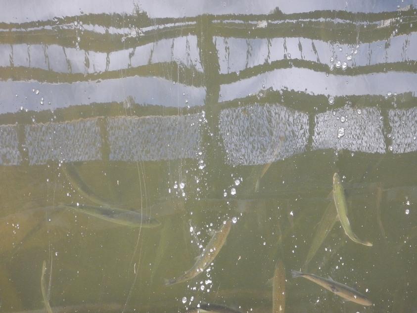 Gorbusha stoyashchaya pod zheleznodorozhnym mostom na r . Krasnoyarka 200 m ot ustya