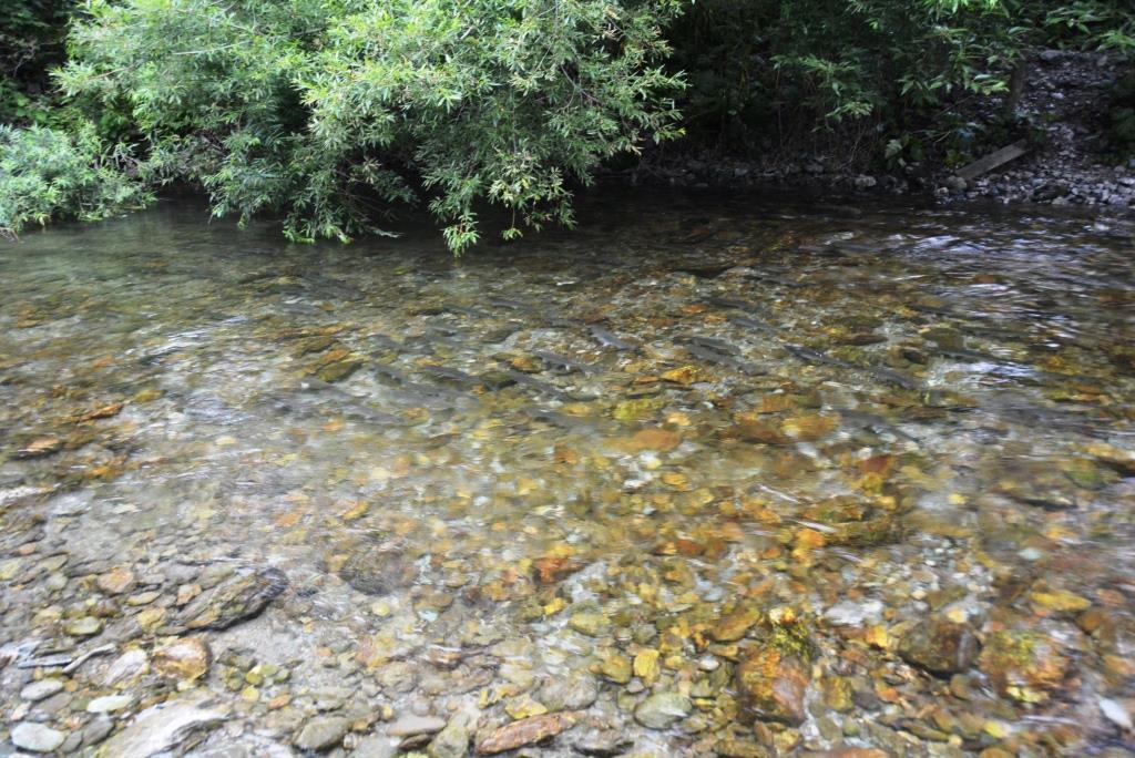 Продвижение горбуши вверх по течению нижнее течение р Бахура
